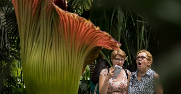 Longwood Gardens Is Hosting Very Rare Corpse Flower That Blooms Once Every 10 Years For Only 48 Hours
